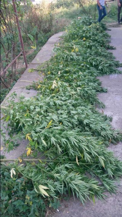 Pronađena plantaža marihuane, uhapšene dvije osobe